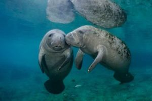 cute-manatee-kiss-wallpaper-3